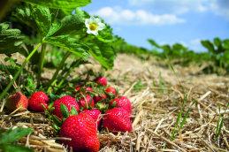 Bio-Erdbeeren VanBriki